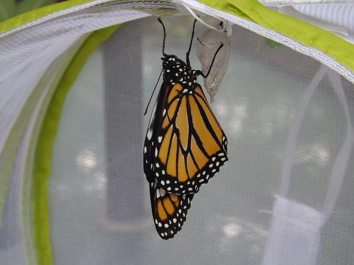 Monarch Butterfly Kit