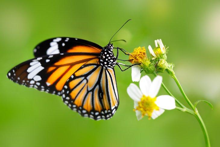 Monarch Food - Nectar